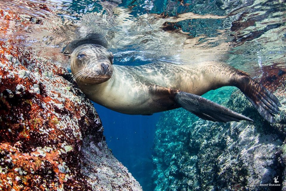 female sea lion at los islotes