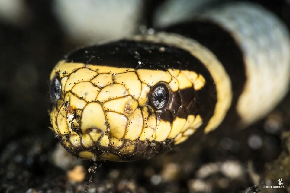 macro portrait of a banded sea krate (sea snake)