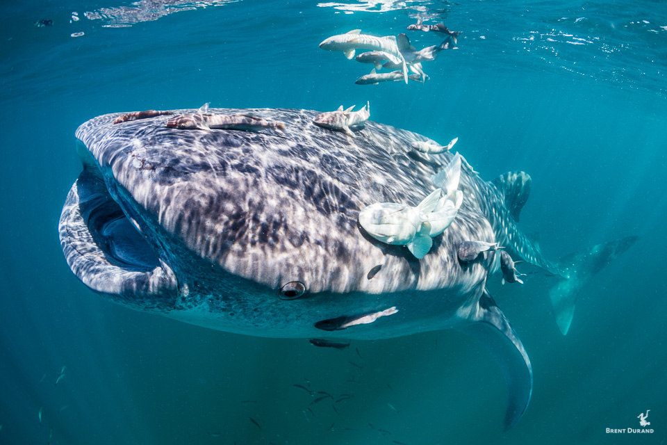 whale shark and remoras swimming