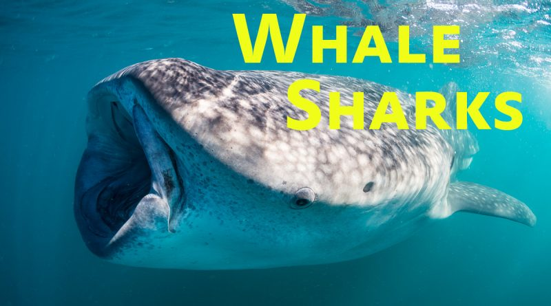 whale shark photography