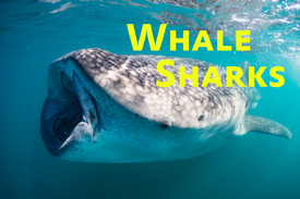 Whale Shark Facts & Photo Tips