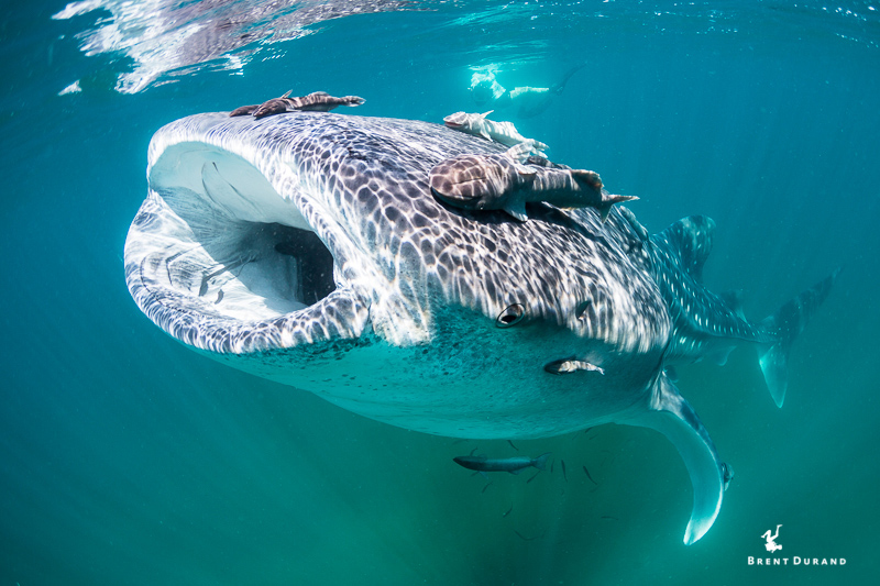Whale Shark (Rhincodon typus) feeds at the surface in La Paz, Mexico. Shot with ambient light only.
